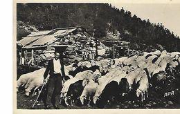 Pyrenées-berger à La Montagne-carte-photo - Elevage