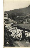 Pyrenées-berger Se Rendant à La Montagne-carte-photo - Elevage