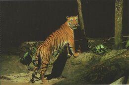 Postcard Singapore Night Safari Tiger - Tigers