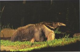 Postcard Singapore Night Safari Giant Anteater - Animals