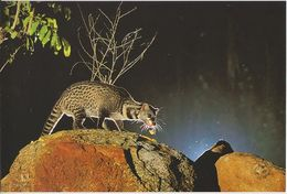 Postcard Singapore Night Safari Malay Civet - Animals