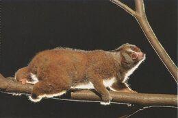 Postcard Singapore Night Slow Loris - Animals