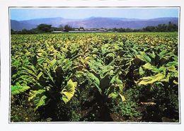 Nicaragua   Chams De Tabac Tobacco Esteli   Années 80s - Nicaragua
