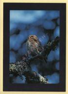 Oiseaux: Chouette Chevechette (Fonds D'Intervention Pour Les Rapaces) (voir Scan Recto/verso) - Oiseaux