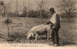 En  Périgord -   La  Recherche  Des  Truffes  - L'  Arrèt. - Périgueux