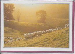 NOUVELLE ZELANDE - Morrinsville élevage De Moutons - Neuseeland