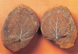 L035068 17. Royal Scottish Museum. Edinburgh. Crown. Fossil Birch Leaves From The Upper Cretaceous Dakota Sandstone Of E - Cartes Postales