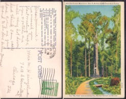 C. Postale - The Cypress Methuselah - 1941 - Circulee - A1RR2 - Orlando
