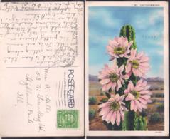 C. Postale - USA - Cactus In Bloom - Circa 1930 - Circulee - A1RR2 - Cactus