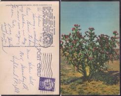C. Postale - USA - Cholla Cactus - 1961 - Circulee - A1RR2 - Cactus