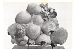 L047087 Museo Civico Di Storia Naturale Milano. Lumachella A Cyprina Islandica L. Siciliano. Acqua Dei Corsari Palermo. - Cartes Postales