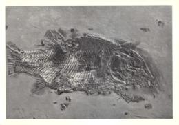 L047088 Museo Civico Di Storia Naturale Milano. Paralepidotus Ornatus Ag. Retico. Rota Di Dentro Val Imagna. 204 Maggio - Cartes Postales