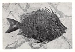 L047089 Museo Civico Di Storia Naturale Milano. Naseus Rectifrons Ag. Eocene Medio. Bolca Verona. 203 Maggio 1961. A. G. - Cartes Postales