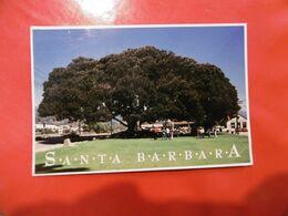 Santa Barbara - Moreton Bay Fig Tree - Santa Barbara