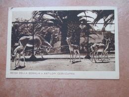 Colonie Italiane SOMALIA Italiana Beisa Della Somalia E Antilopi Cervicapra Giardino Zoologico Governatorato Di Roma - Somalia