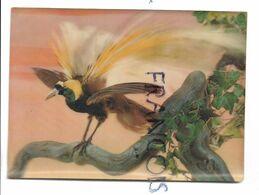 Paradise Bird. - Stereoskopie