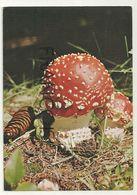 Champignon. Amanita Muscaria - Hongos