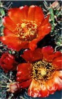 Cactus Cane Cholla Chaw-Yuh Blossoms - Cactus