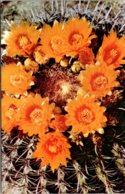 Cactus Barrel Cactus Flowers - Cactus