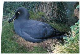 (G 2) Gough Island - Sooty Albatross - Birds