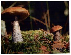 (G 2) Mushroom (Poland ?) - Hongos