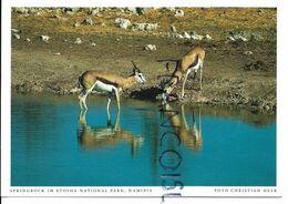 Springbock/ Gazelle. Etosha National Park. - Namibia