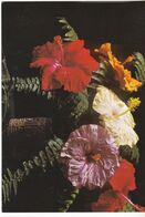 Hibiscus Tahiti - - Tahiti