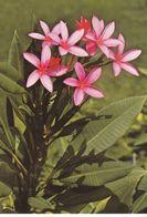 Tahiti - Plumeria Rubra (Apocynaceae) - Tahiti