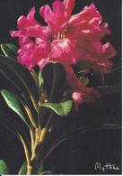CPM Rhododendron Ferrugineux - Flores