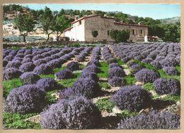 CPM Paysage De Provence > Champs De Lavande A 570 - Flores