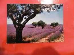Fleurs - Sous Le Beau Ciel De Provence - Champ De Lavande - Flores