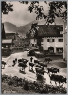 Bad Hindelang - S/w Am Morgen Auf Der Dorfstraße    Kühe Beim Almauftrieb - Hindelang