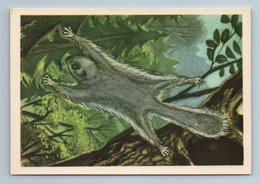 1962 FLYING SQUIRREL In Forest Animal Estonia Soviet USSR Postcard - Zonder Classificatie