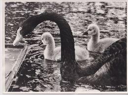 AMSTERDAM. ZWARTE ZWANEN // CISNE NEGRO // BLACK SWAN - BIRD  // PAJARO // OISEAU // VOGEL  24X18CM - Sonstige