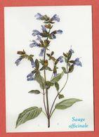 CP PLANTES MEDICINALES 1 Sauge Officinale - Heilpflanzen