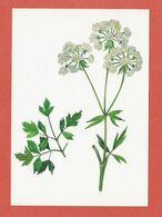CP PLANTES MEDICINALES 4 Liveche - Heilpflanzen