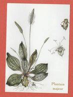 CP PLANTES MEDICINALES 6 Plantain Majeur - Heilpflanzen