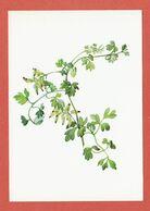 CP PLANTES MEDICINALES 8 Corydale - Heilpflanzen