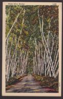 Postcard - USA - Circa 1940 - Maine Silver Birches - Non Circulee - A1RR2 - Etats-Unis