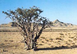 1 AK Oman * Frankincense Tree - Ein Weihrauchbaum Bei Salalah * - Oman