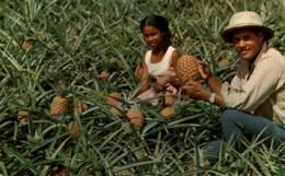 CPM - MARTINIQUE - Récolte D'ANANAS Au MORNE ROUGE ... - Edition F.Rose-Rosette - Martinique