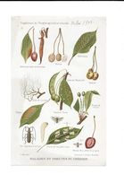 1908 LES INSECTES ET MALADIES DU CERISIER - PLANCHE LAFONT SUPPLEMENT PROGRES AGRICOLE ET VITICOLE 24*15.5 - F. Trees & Shrub