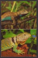 Postcard - USA - Circa 1970 -  Fence Lizard (top) And Collared Lizard - Non Circulee - A1RR2 - Tierwelt & Fauna