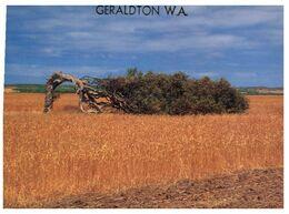 (H 6) Australia - WA - Geraldton Wind Swept Tree - Geraldton