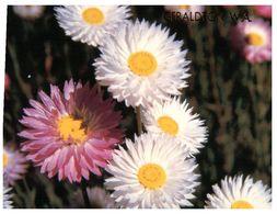 (H 6) Australia - WA - Geraldton Everlasting Flowers - Geraldton