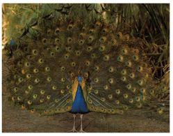 (H 10) Australia - QLD - Peackock At Sanctuary - Vögel