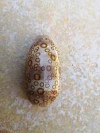 Cypraea Argus Contrastriata Madagascar 61 Mm - Coquillages