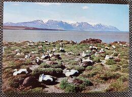 Island Ederfuglekoloni I Skagafjördur 1973 - Iceland