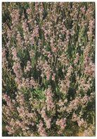 SAUDI ARABIA POSTCARD , VIEW CARD DESERT FLOWERS - Arabie Saoudite