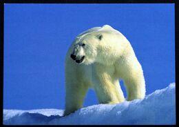 Greenland  Cards Polar Bear At Mestersvig  ( Lot 270 ) - Grönland